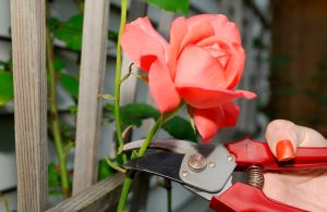 Caring for cut Roses and Aberdeen flowers
